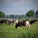 Landelijke tuinen - Koeien vanuit de tuin